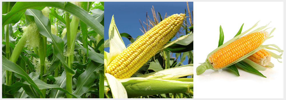 Quality Yellow maize exporters and suppliers